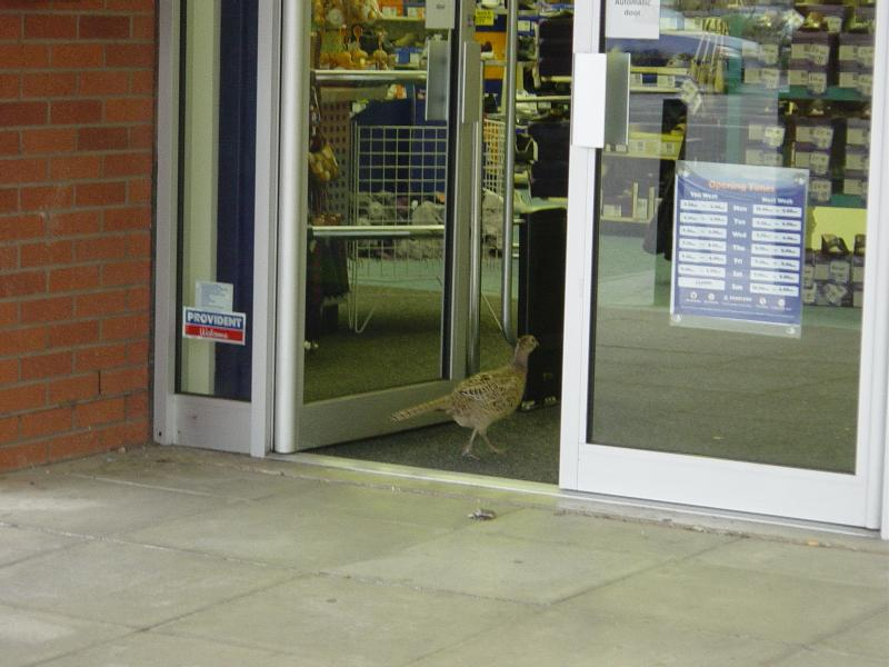 Who needs home delivery Pizza? In England, the Pheasants deliver themselves.