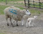 Mother and Lamb 1